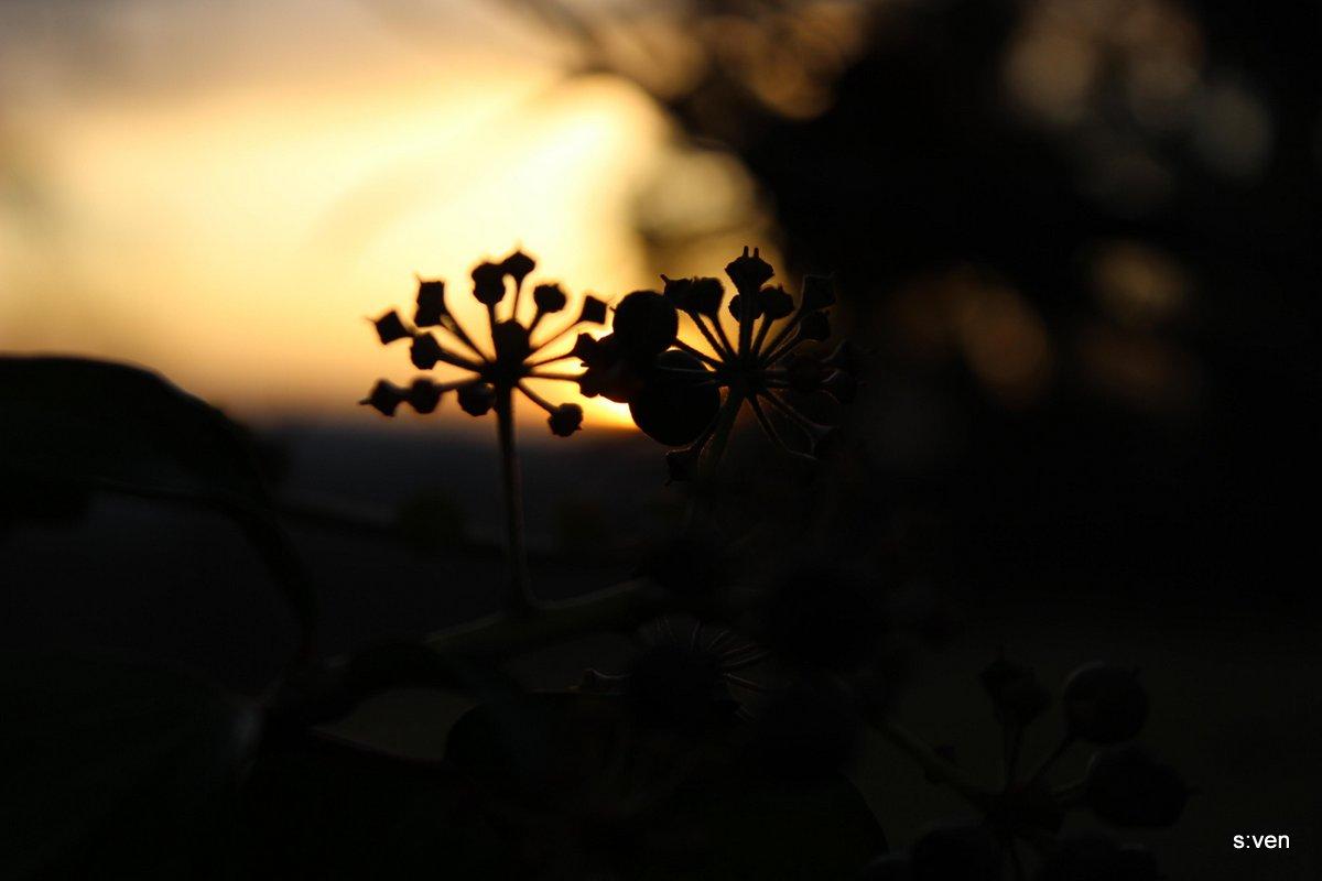 Sonnenuntergang Blüte gegenlicht