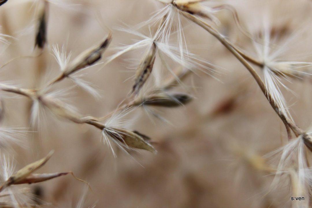 makro Löwenzahn Samen beige
